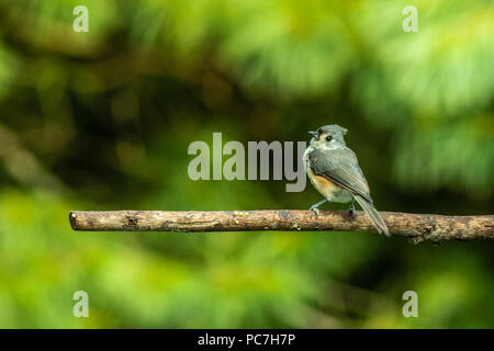 Tufted Titmouse - Perched on branch a titmouse sings a song. Titmice are tiny but very elegant. Background pine tree blurred. Focusing on the bird. - Stock Photo