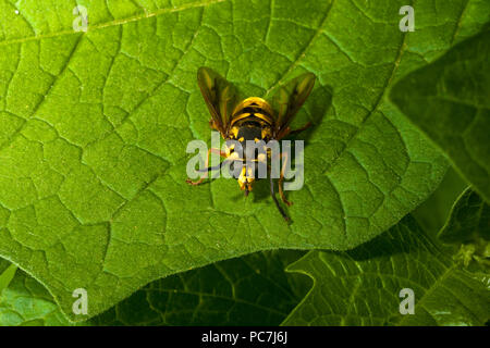 Yellow hover fly wasp on green leafs foliage colour contrast - Stock Photo