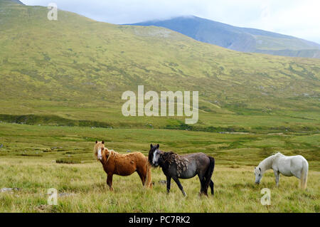 Hill ponies in Cwm Caseg a broad valley leading from the Carneddau down to the village of Bethesda in Snowdonia, Wales,UK - Stock Photo