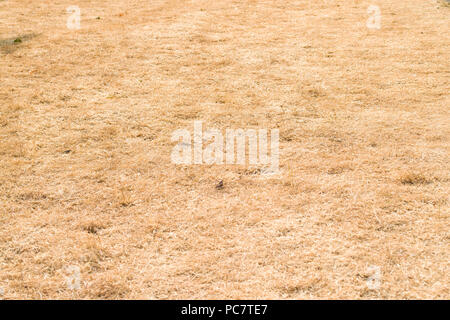 A lawn of dry orange grass due to the record Summer heatwave in the United Kingdom in 2018 - Stock Photo