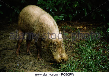 A bearded pig. - Stock Photo