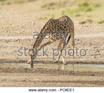 A giraffe calf crouches for a drink. - Stock Photo