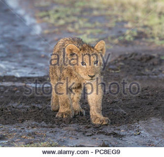 A weeks old lion cub wet from early morning grass dew. - Stock Photo