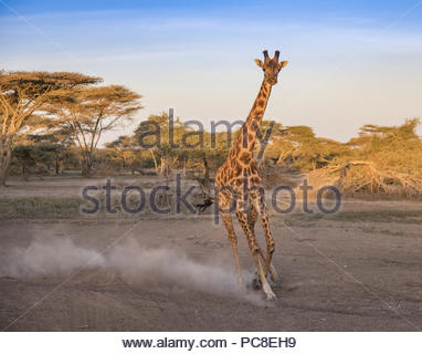 A giraffe frightened by a threat gallops in the Ngorongoro Conservation Area. - Stock Photo