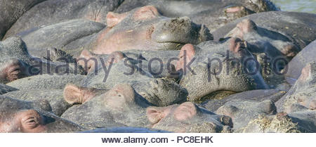 A pod of hippos float together as a group. - Stock Photo