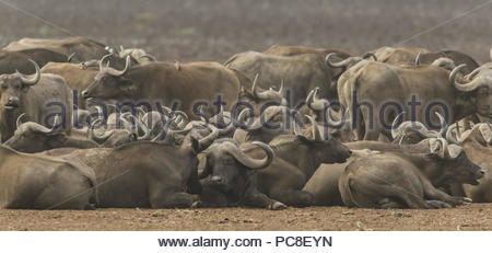 A herd of cape buffalo rest and relax along the shore of Lake Manyara. - Stock Photo