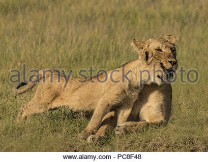 A lion cub cuddles with its mother. - Stock Photo