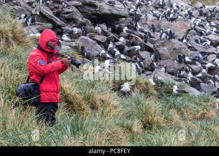 Photographer in red coat taking photos at a rockhopper penguin rookery in the Falkland Islands - Stock Photo