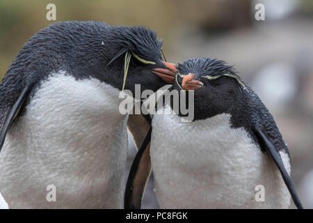Pair of rock hopper penguins nesting at a rookery in the West Falkland Islands - Stock Photo