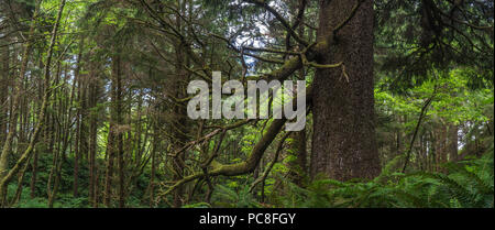 Panoramic view of trees and underbrush in Oregon's coastal rainforest. - Stock Photo