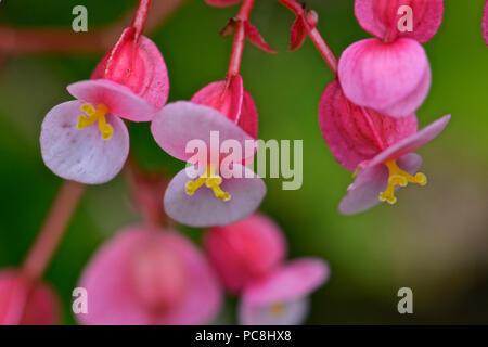 Wax begonia, Begonia semperflorens. - Stock Photo
