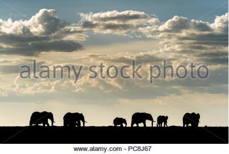 African elephant herd, Loxodonta africana, in Masai Mara National Reserve. - Stock Photo