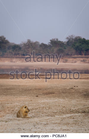 A male lion, Panthera leo, resting on the banks of the Luangwa river. - Stock Photo