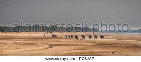 African elephants, Loxodonta africana, walking on the banks of the Luangwa river. - Stock Photo