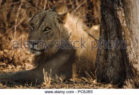 Portrait of a male lion catching the beautiful early morning  light, Panthera leo. - Stock Photo