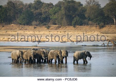 Herd of African elephants, Loxodonta Africana, crossing the Luangwa River at sunset. - Stock Photo