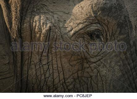 Close-up of an African elephant, Loxodonta africana, covered by mud. - Stock Photo