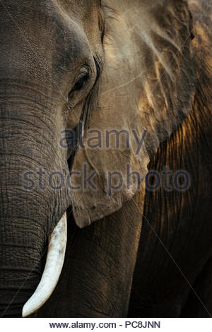 A close up portrait of an African Elephant, Loxodonta africana. - Stock Photo