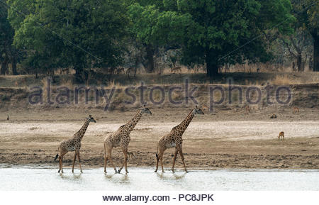 Thornicrofts Giraffes, giraffa camelopardalis thornicrofti, walking on the river bank. - Stock Photo