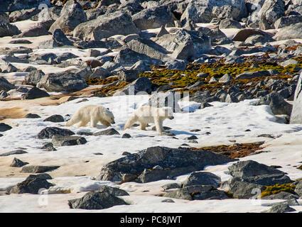 two polar bear cubs (Ursus maritimus), Svalbard or Spitsbergen, Europe - Stock Photo