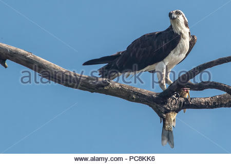 An osprey, Pandion haliaetus, in a tree with a just caught fish. - Stock Photo