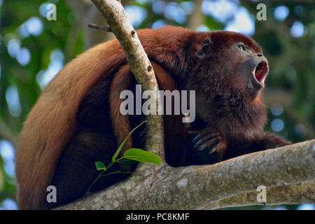 A Red Howler Monkey, Alouatta seniculus, howls on a branch. - Stock Photo