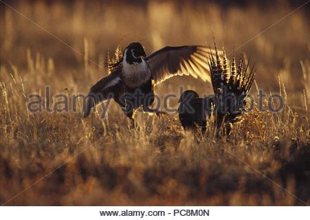 A pair of Gunnison sage grouse courting. - Stock Photo