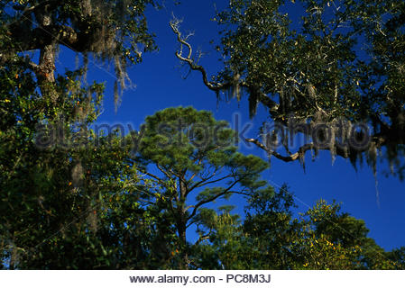Coastal maritime forest, including pines and bay, with Spanish moss. - Stock Photo
