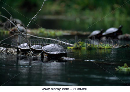 Florida cooter turtles sunning on a log. - Stock Photo