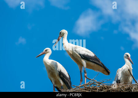 A white stork family (Ciconia ciconia) - three storks standing in a nest in Polish countryside - Stock Photo
