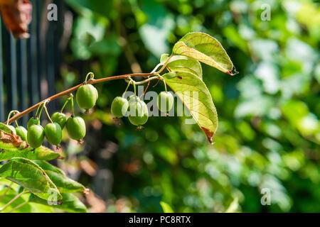 Green kiwi fruit on Actinidia Issai tree - closeup with selective focus - Stock Photo