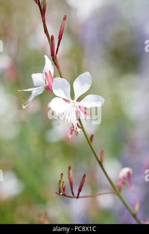 Gaura lindheimeri 'Whirling Butterflies' flowers. - Stock Photo