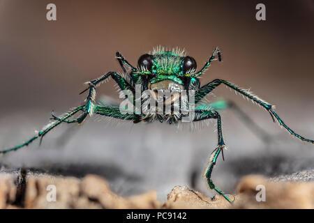 Green Claybank Tiger beetle - Cicindela denverensis - Stock Photo