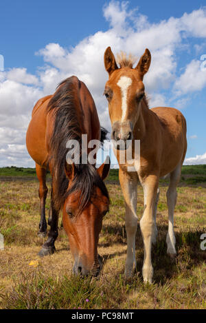 Tan coloured mother pony and foal in the New Forest on a sunny day in summer, Hampshire, UK - Stock Photo
