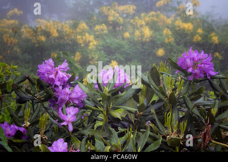 View of mountain roses in fog (Rhododendron ponticum and luteum) The image is captured in the mountain called Sis of Trabzon city located in Black Sea - Stock Photo