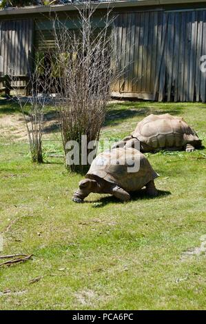 Old giant turtles family with brown shell in Victoria (Australia) close to Melbourne laying in the sun on a lush green grass lawn - Stock Photo