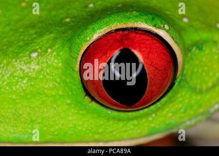 red-eyed treefrog (Agalychnis callidryas), eye detail