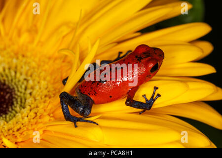Nicaragua blue jean dart frog or Pumilio dart frog (Oophaga pumilio) - Stock Photo