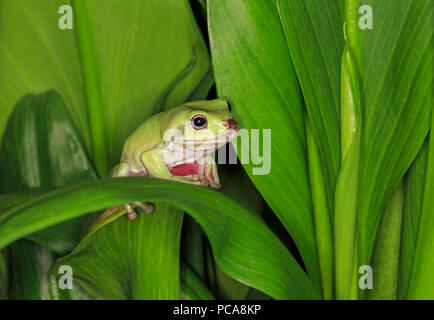 Australian dumpy tree frog or White's tree frog (Litoria caerulea) - Stock Photo