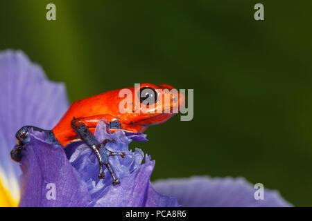 Nicaragua blue jean dart frog or Pumilio dart frog (Oophaga pumilio) on an iris - Stock Photo