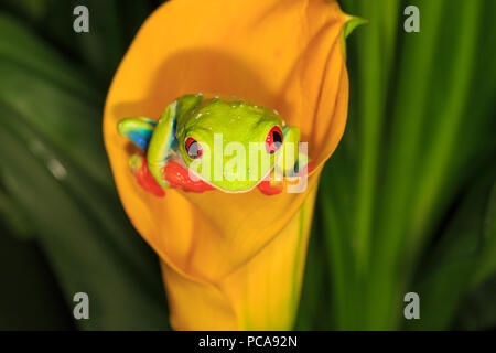 Red-eyed tree frog (Agalychnis callidryas) on orange calla lily Stock Photo