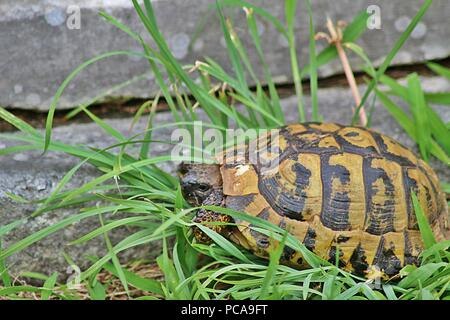 A close-up photo of a turtle walking on the ground - Stock Photo