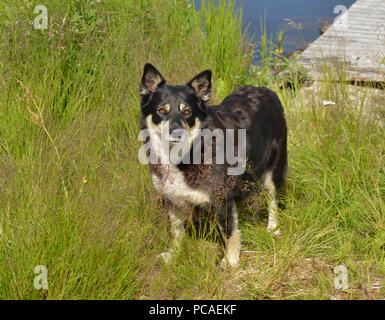 Lapponian herder (Lapinporokoira or Lapp Reindeer dog or Lapsk Vallhund) in tall grass on lake shore Finnish Lapland - Stock Photo