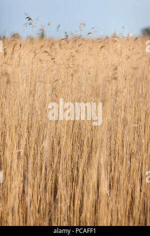 Vertical lines yellow reeds at the lake with blue sky - Stock Photo