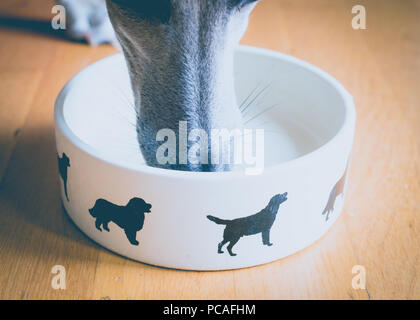 Whippet Dog nose in food bowl - Stock Photo