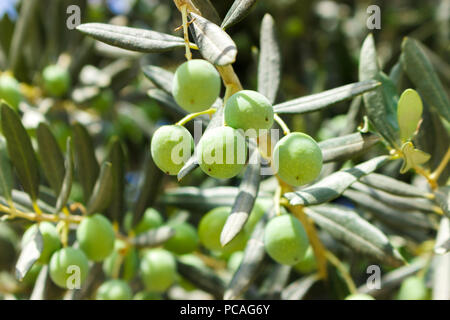small young green olives on tree in sunny day. - Stock Photo