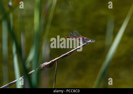 A male common darter dragonfly (Sympetrum striolatum) resting on a plant stem by a pond - Stock Photo