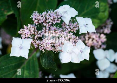 A close up of the flowers of a mountain hydrangea (Hydrangea serrata) - Stock Photo