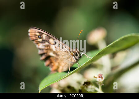 A speckled wood butterfly (Pararge aegeria) on a leaf with its wings closed - Stock Photo