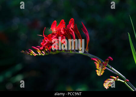 A close up of a Crocosmia 'Lucifer' in flower - Stock Photo